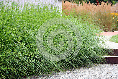 Ornamental perennial grass