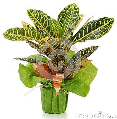 Ornamental Plant croton