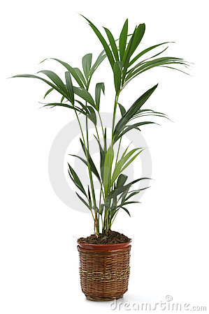 Ornamental Plant kentia