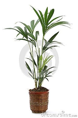 Ornamental Plant kentia
