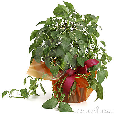 Ornamental Plant potos