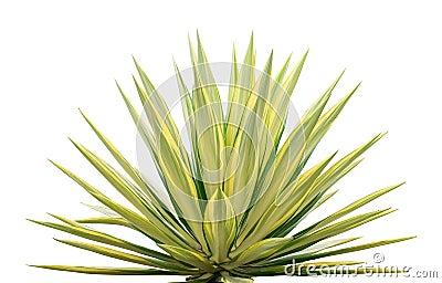 Ornamental Sansevieria plant
