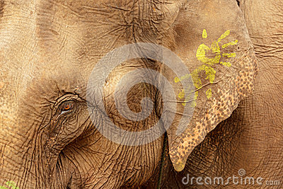 Ornate asian elephant