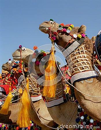 Ornate camels