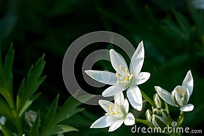 Ornithogalum umbellatum (Star-of-Bethlehem, Grass Lily