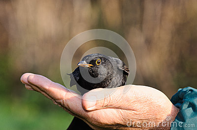 Ornithologist frees a blackbird