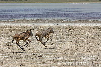 Orphaned Baby Wildebeests Running in Serengeti