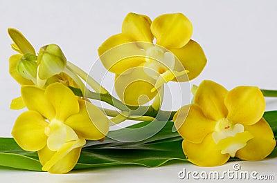 Orquídea fragante amarilla en la hoja verde.