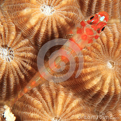 Orrangespotted goby
