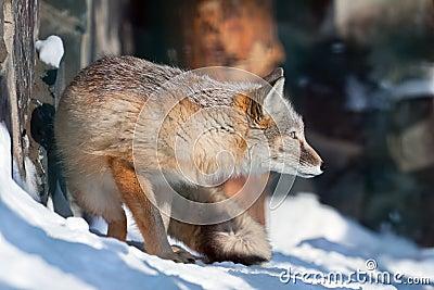 Сorsac fox on hunting
