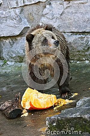 Orso che mangia una zucca