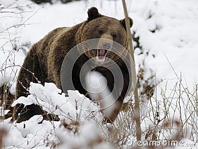 Orso di Brown (arctos del Ursus)