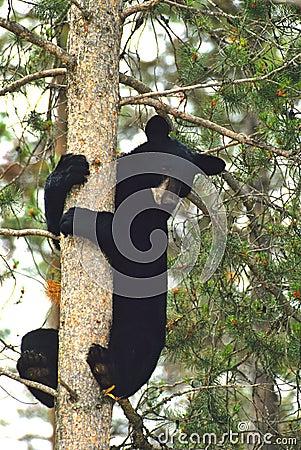Orso nero in albero