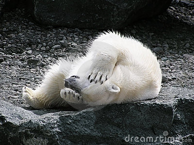 Orso polare che ha divertimento