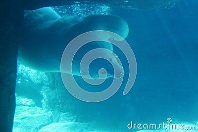 Orso polare subacqueo