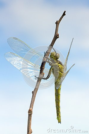 Orthetrum cancellatum / Black-tailed Skimmer, fema