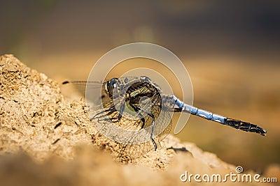 Orthetrum cancellatum dragonfly