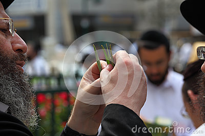 The orthodox Jew  chooses ritual plant Editorial Stock Image