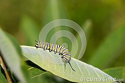 Oruga del monarca