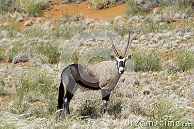 Oryx antelope in Namibia