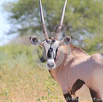 African Wildlife - Oryx, Gemsbuck