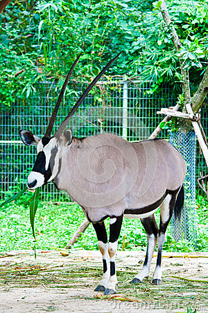 Oryx gazella or Gemsbok