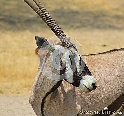 Oryx - Gemsbuck - Curls and Stripes
