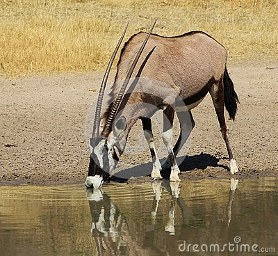 Oryx - Gemsbuck reflections super
