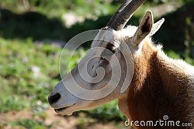 Oryx (Oryx dammah)