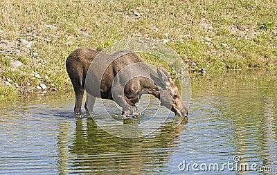 Os alces acobardam beber na lagoa