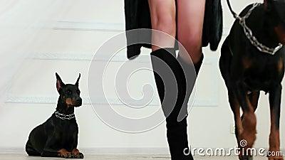 Os bens da pele e do couro, menina que veste botas pretas da camurça do casaco de pele nos saltos altos andam afastado com doberm video estoque