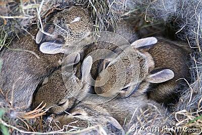 Os coelhos do bebê Huddled em seu ninho
