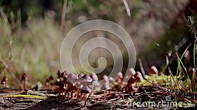 Os cogumelos venenosos, cogumelos, fungos que crescem no ramo do pinho como aranhas pequenas andam sobre elas durante outubro em  video estoque