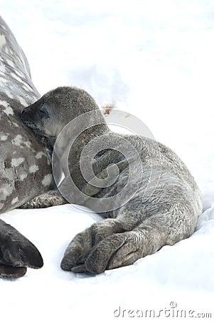 Os filhotes de cachorro de selo de Weddell ordenham a aleitação.