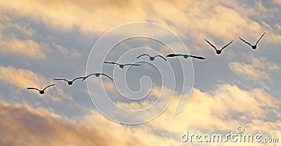 Os gansos de Canadá voam silhuetas do por do sol