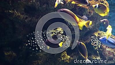 Os peixes tropicais brilhantes nadam entre corais video estoque