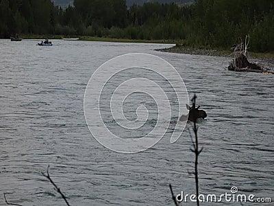 Os pescadores que olham um alce cruzam o rio do russo na primavera