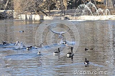 Os pássaros e os patos na água