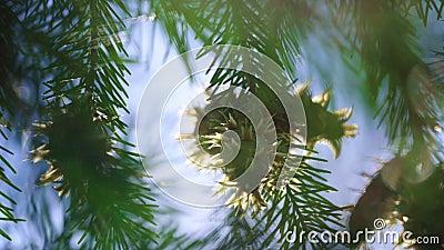 Os ramos com cones novos e as agulhas verdes de abies o crescimento na floresta video estoque