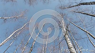 Os topos das árvores de pássaros video estoque