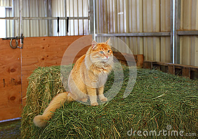 Oscar the barn cat