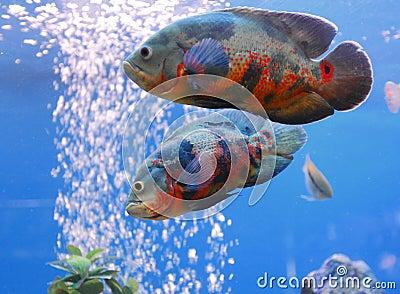 Oscar Oscars fish