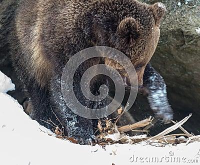 Oso de Brown (arctos del Ursus)