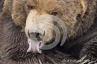 Oso de Kodiak que lame la pata