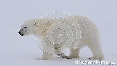 Oso polar caminando en el Ártico metrajes