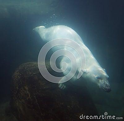 Oso polar subacuático