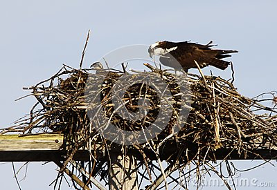 Osprey adult and offspring in Nest