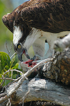 Free Osprey And Prey Royalty Free Stock Photography - 180497