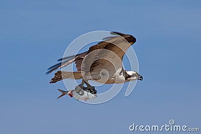 Osprey as Predator