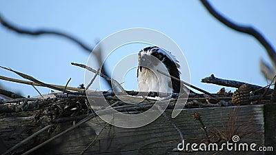 Osprey av honkön på äggbytesställen med hanar som flyger in stock video